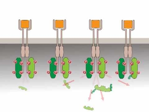 Receptor Tyrosine Kinases - Eg. EGFR