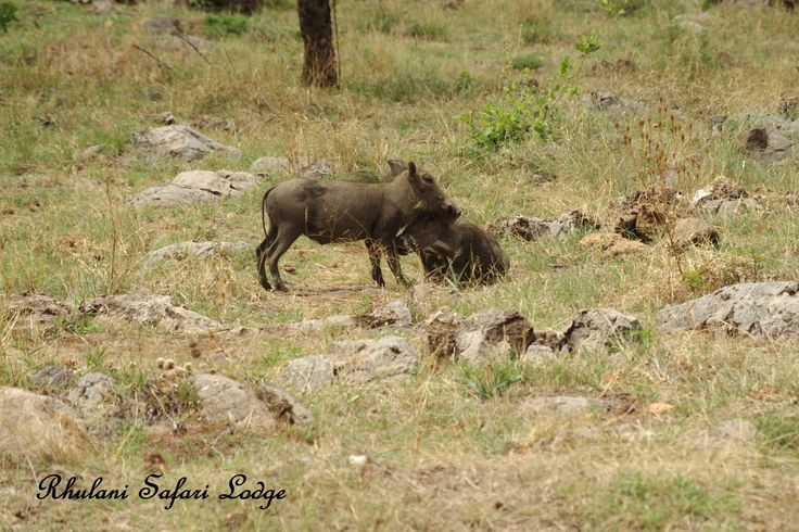Warthogs eating our new planted grass