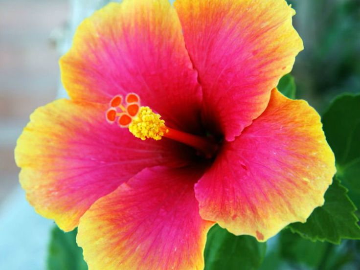 Hibiscus is a flowering plant from the Malvaceae family. It grows in warm and tropical parts of the world with its flower looking quite distinct. You can recognize it as the national flower of different countries, including Malaysia, South Korea, and the Republic of Haiti. In Hindu religion, the flowers are used in interpreting divine…
