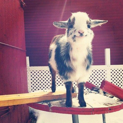 happiest little goat.