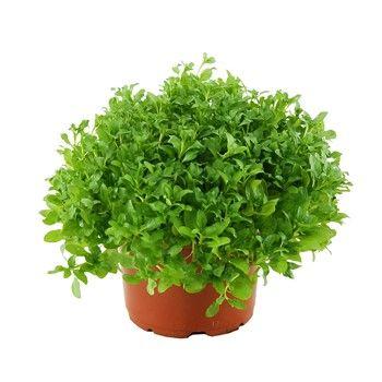 1000 id es sur le th me plante herbac e sur pinterest vivace herbe de la p - Cultiver menthe en pot ...