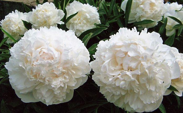 Пионы — это многолетние растения, которые при правильном уходе живут до 10 — 15 лет и более. Пион одно из
