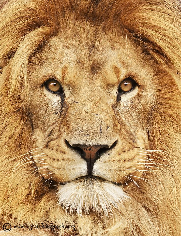 Bevorzugt Best 25+ Lion photography ideas on Pinterest | Lion, Big cats art  RG27