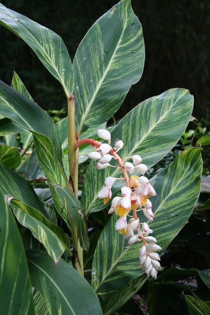 Plant variegated shell ginger (Alpinia zerumbet 'Variegata') for its gold and green pinstriped leaves, and enjoy its shell-like blooms in areas where it rarely freezes.