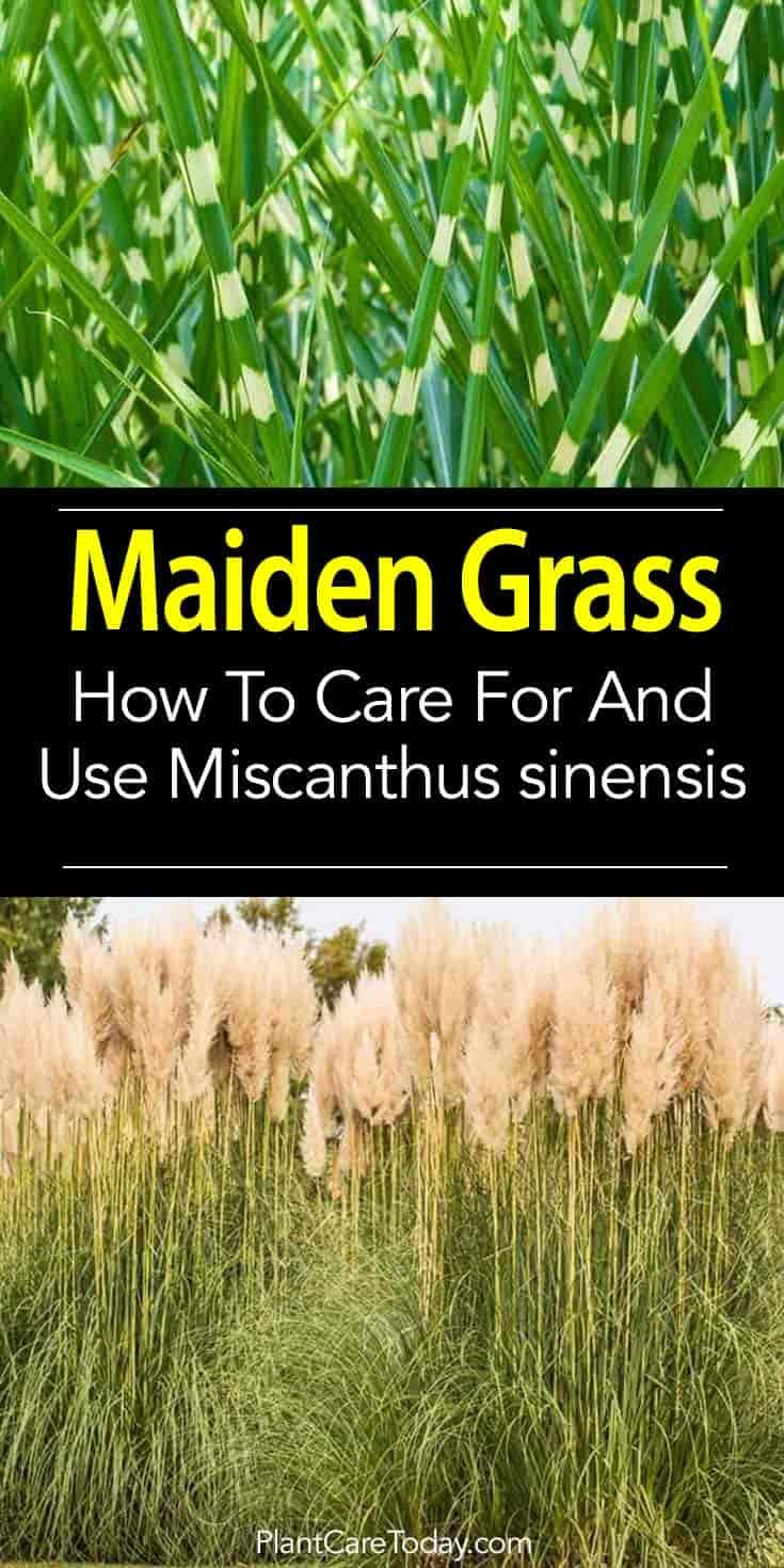 Maiden Grass Care How To Grow And Use Miscanthus Sinensis Grass Care Grasses Garden Grasses Landscaping