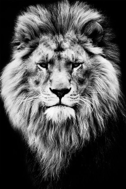 17 best images about all things lion on pinterest iphone for Black and white lion tattoo