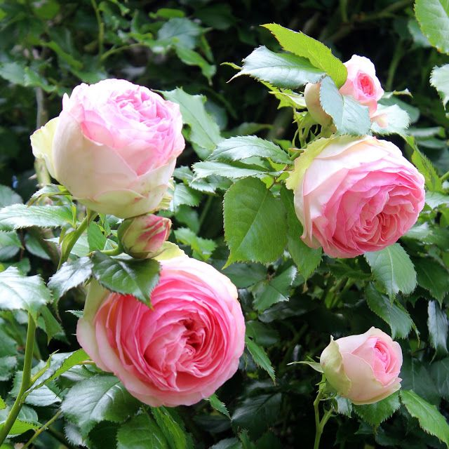 Old English Roses ~ Italian Girl in Georgia: A Promise of a Rose Garden