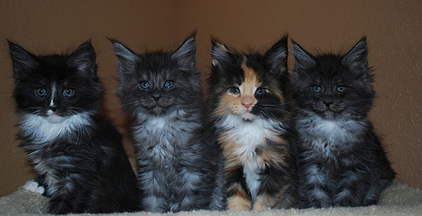 Maine Coon Cats - WhatATrill Maine Coons of Northern California ...