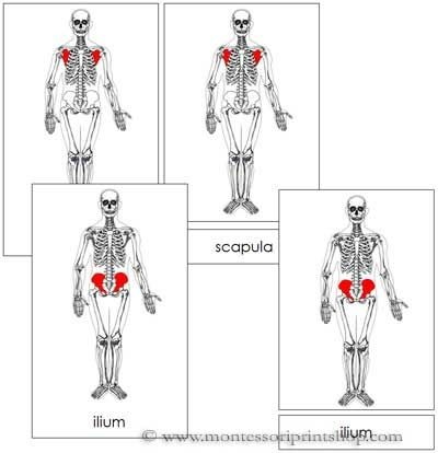 Skeleton Nomenclature to use with Human Body Unit from R.E.A.L. Science Odyssey - Life Science I