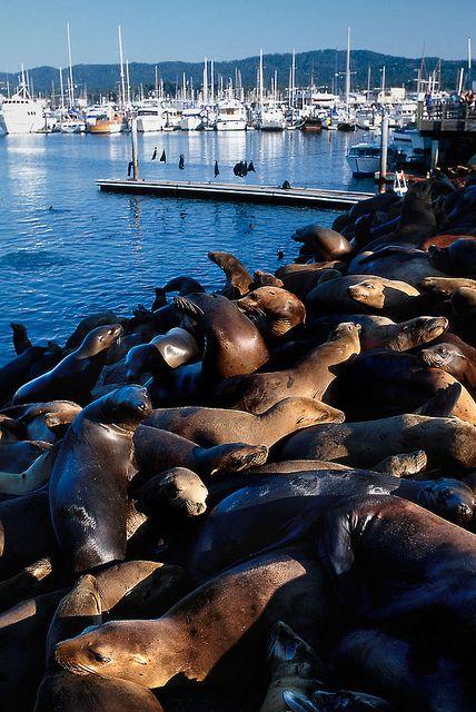 A heap of sea lions at Monterey Bay, California by O.Blaise
