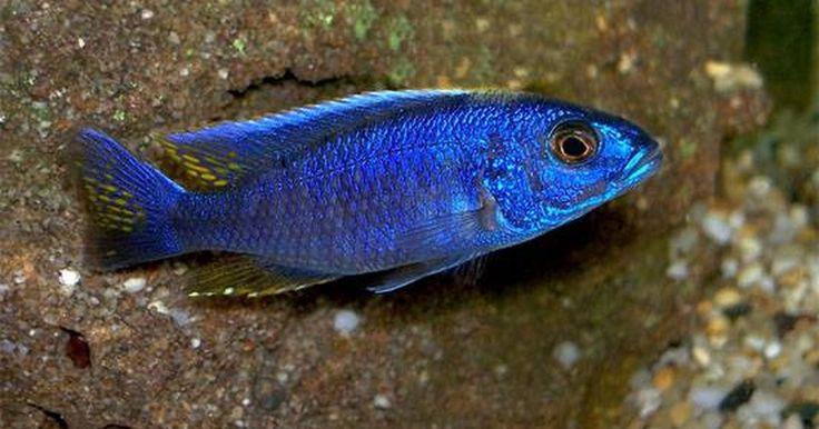 Cómo identificar y cuidar un cíclido azul eléctrico. El cíclido azul eléctrico (Sciaenochromis fryeri) pertenece a la familia cichildae. Son nativos de la cordillera del Lago Malawi, África y se categorizan como cíclidos Malawi. Estos peces son carnívoros y pueden vivir más de 10 años. Los cíclidos azul eléctrico son los más populares en su especie.
