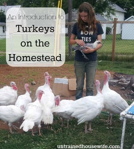 An Introduction to Turkeys on the Homestead, Basically the same as chickens... but don't keep them together.