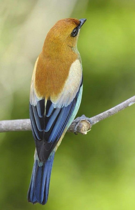 """Chestnut-Backed Tanager/  """"If you want a daring color palette but don't know where to begin, just copy a beautiful bird."""" Tanna Espy Miller, Ask a Designer columnist"""