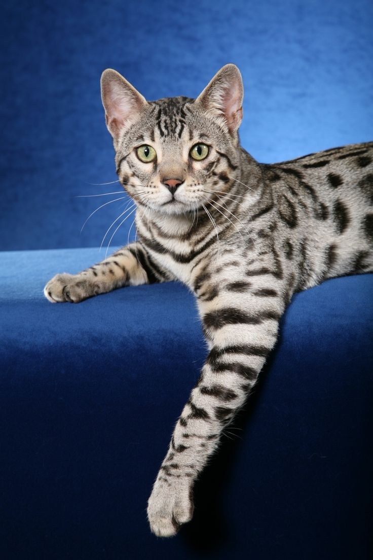 Silver Spotted Bengal