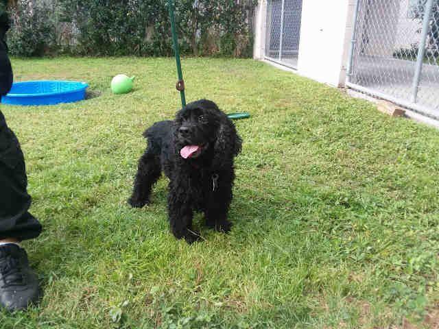 Cocker Spaniel dog for Adoption in St. Cloud, FL. ADN-712465 on PuppyFinder.com Gender: Male. Age: Senior