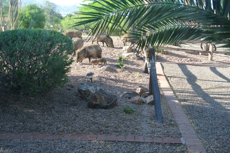 Here we are in the WILD WILD WEST! These are Javelinas, they eat landscaping, BARK, FIGHT, and give birth to babies as fast as guppies.