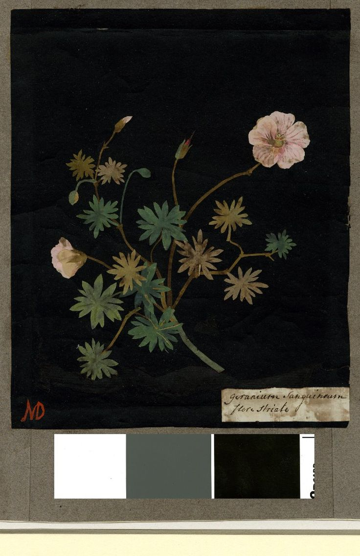 Geranium Sanguineum, formerly in an album (Vol.IV, 59); Lancashire Cranesbill. 1772-82 Collage of coloured papers, with bodycolour and watercolour, on black ink background, Mary Delany (1700-1788)