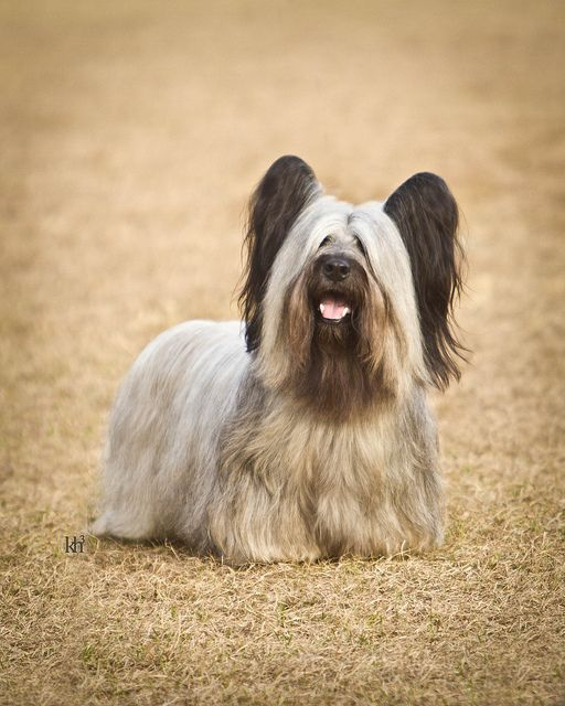 Skye Terrier by Neptunecocktail, via Flickr