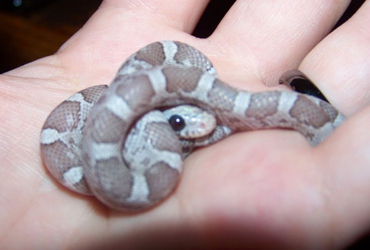 My Baby Moonstone Anery Lavender Corn Snake Voltaire