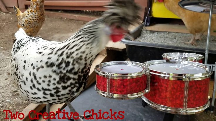 Punk Rock Chicken Plays Drum Solo Wow they really are trying to start an all chicken band.