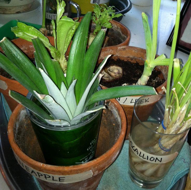 Week 3 We're still growing lettuce, celery, leeks