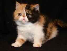 Maine Coon Kittens For Sale Seattle 1000+ images ab...