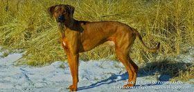 Foto de un Perro Crestado Rodesiano posando. Características físicas de un Rhodesian Ridgeback. Lomo crestado. Raza de perro (Photo of a Rhodesian Ridgeback. Physical characteristics of a Lion-dog. Breed of dog).