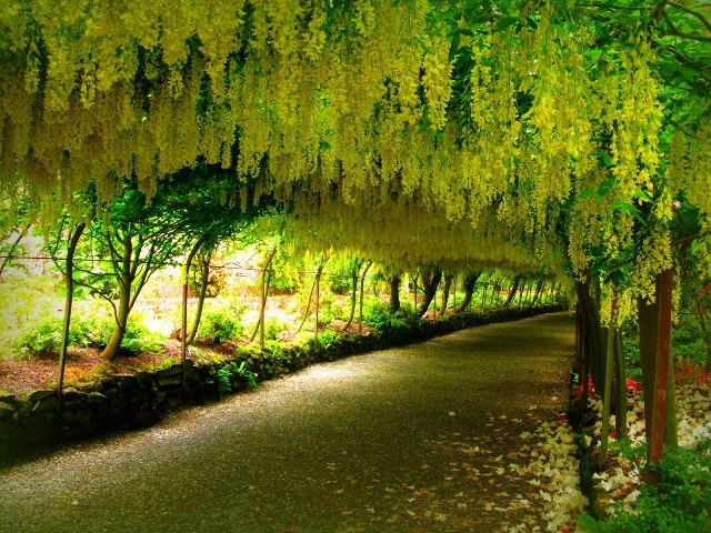 Cia Fistula Grows Into A Mid Sized Deciduous Tree And Bears Profuse Bright Flowers Of Yellow Color