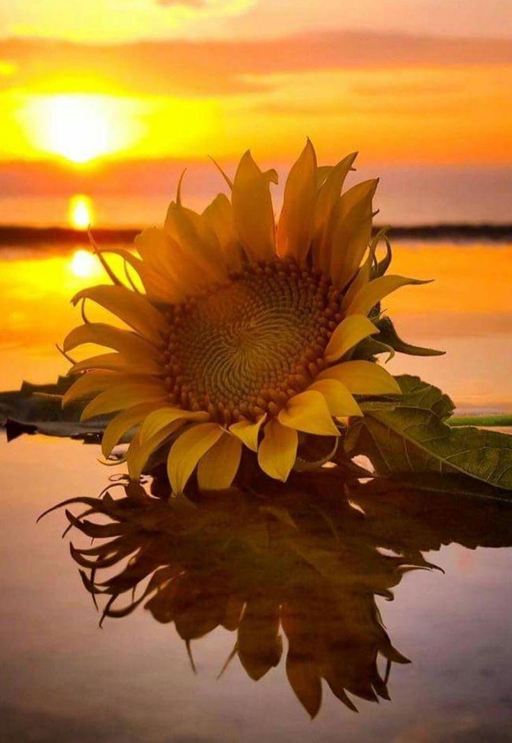 die besten 25 sonnenblumen ideen auf pinterest sonnenblume kunst sonnenblumen malerei und sonne. Black Bedroom Furniture Sets. Home Design Ideas