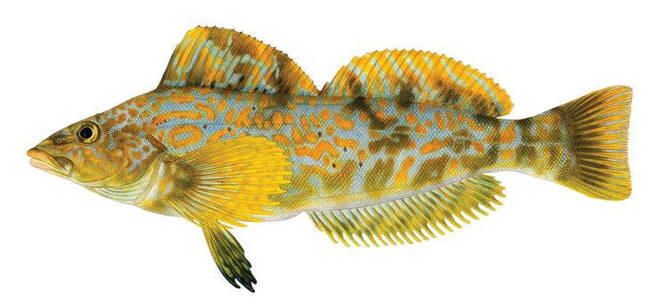 These Fish Posed for Pencils, Not Cameras - Science Friday The golden spots on the female kelp greenling above are more true to the markings on this Salish Sea fish than the off-color yellow specks you'll see in most photographs. That's because the image above isn't a photo. It's actually a hand-drawn illustration by biologist and illustrator Joseph Tomelleri.