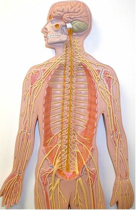 31 best images about a p on pinterest human anatomy for Interieur corps humain