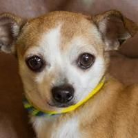Pictures of Lita a Chihuahua Mix for adoption in Colorado Springs, CO who needs a loving home.