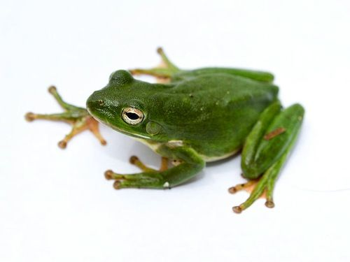 Green Tree frog for sale