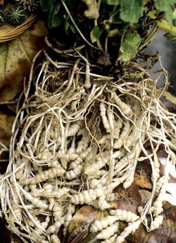 Crosne du Japon: planter et cultiver – ComprendreChoisir