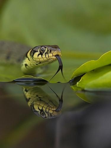 Grass snake (reflection)