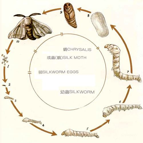 35 best Silkworms images on Pinterest | Life cycles, Silk and Silk road