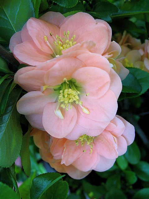 Dwarf Flowering Quince (Chaenomeles speciosa) 'Cameo'