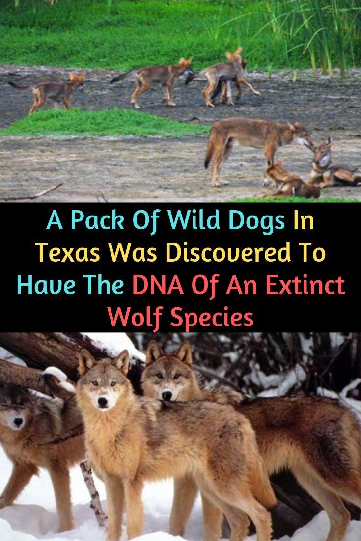 Eine Packung wilder Hunde in Texas wurde entdeckt, um die DNA einer ausgestorbenen Wolfsart zu haben   – Fashion