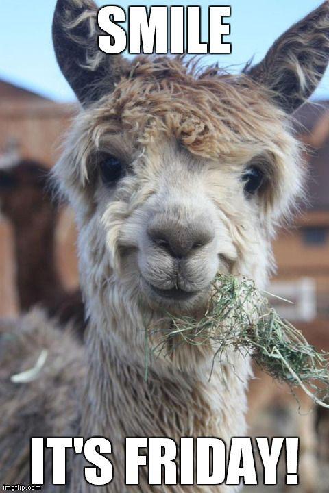 smile its friday | Animals | Pinterest | Animal, Llama ...