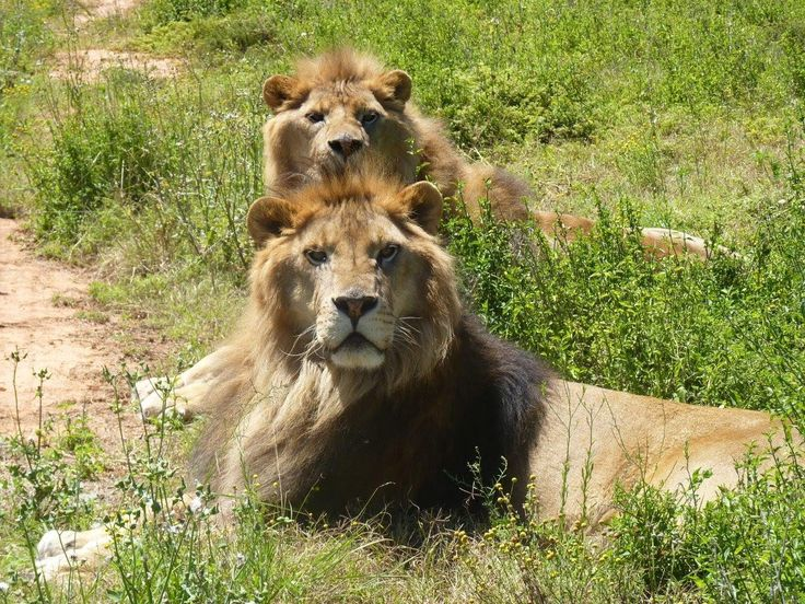 A heart-warming video of two magnificent ex-circus lions who were successfully rescued from Bulgaria and are now thriving in their new South African home.  Eight-year-old brothers Jora and Black made international headlines when they were rescued by Born Free in partnership with Four Paws from a beast wagon in Bulgaria just over three months ago. Thanks to generous public support, Born Free transported Jora and Black 10,500 miles via the UK to a new life at Born Free's Big Cat Rescue Centre
