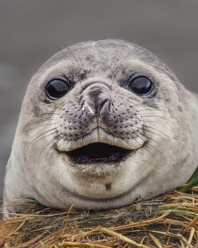 """6,168 Likes, 123 Comments - Frans Lanting (@franslanting) on Instagram: """"Happy days are back again for elephant seals on South Georgia. After the island's massive…"""""""