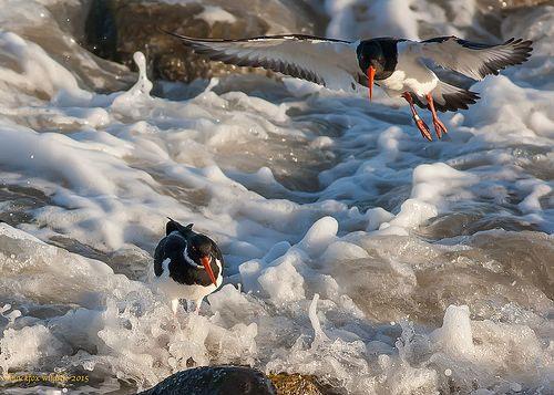 Oystercatchers BBC Winterwatch | Flickr - Photo Sharing!