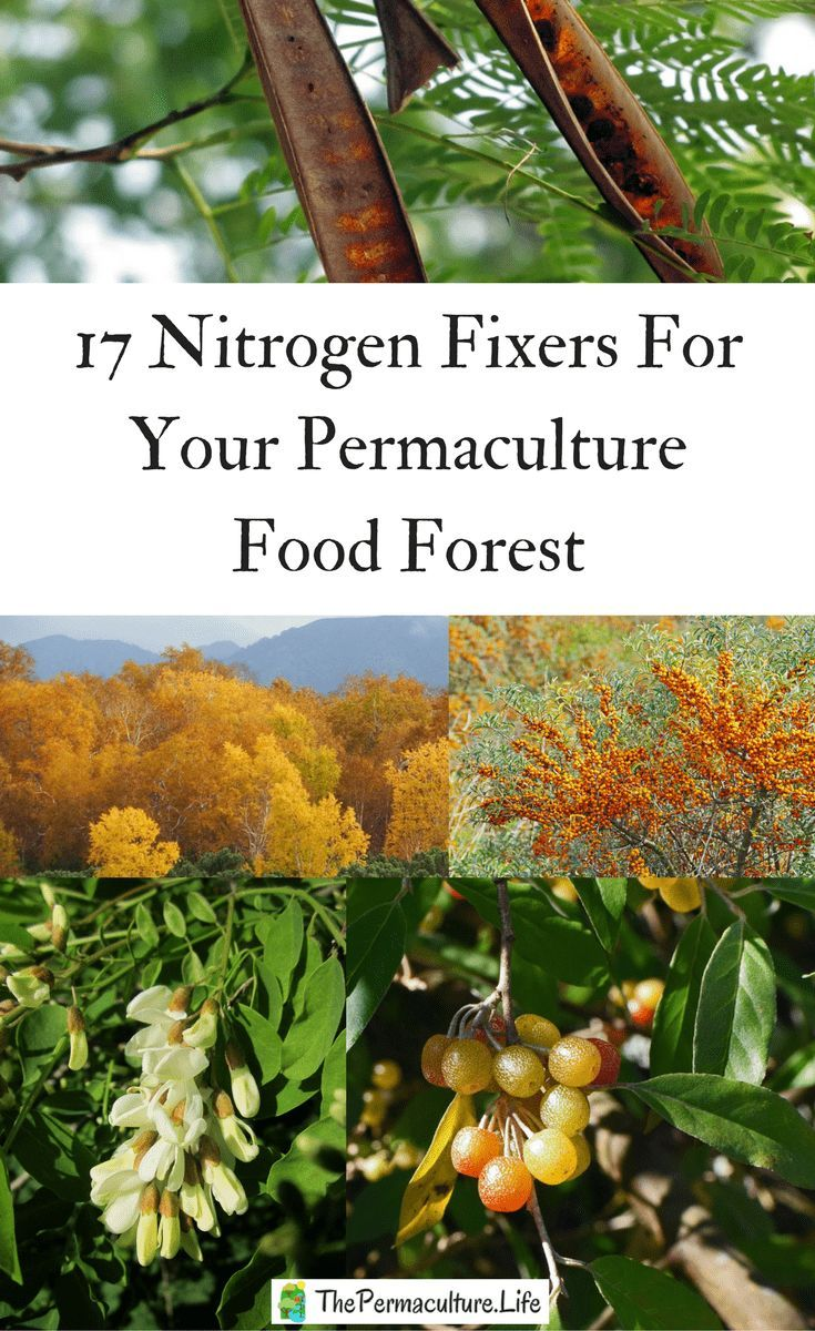 """One reason permaculture designers want a nitrogen-fixing tree is as a pioneer to stabilize and improve soil conditions. They also can act as a """"nurse"""" plant to help other plants grow better and faster. #thepclife #foodforest #nfixer #permaculture"""