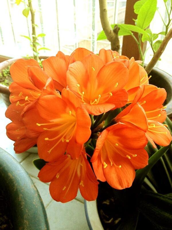 """트위터에서 @GogoglaStephany 님이 올리신 #평화꽃 """"집 베란다에 꽃이 환하게 피었네요. 간절한 마음을 담아 보냅니다."""""""