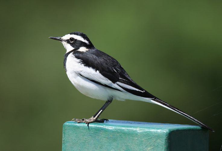 wagtails bird - AVG Yahoo Search Results