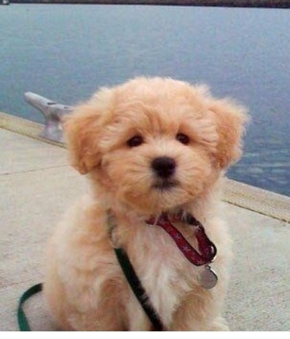 Golden doodle puppy- I want one of these!
