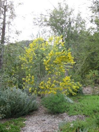 Acacia covenyi • Australian Native Plants • Plants • 800.701.6517