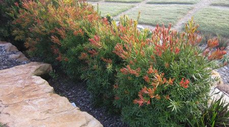 SCARLET FLAME™ is perfect as a hedge or specimen shrub