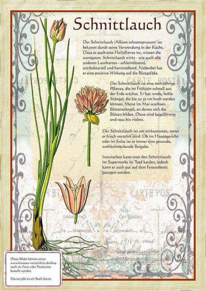 Schnittlauch http://www.kraeuter-verzeichnis.de/ > Allium schoenoprasum-Ruohosipuli