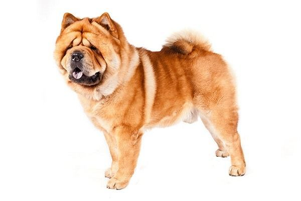 Chowchow Dog Breed Price Temperament Tongue Mix White Mini
